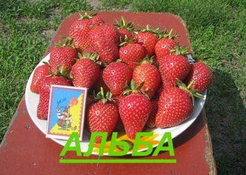 ягода клубники Альба