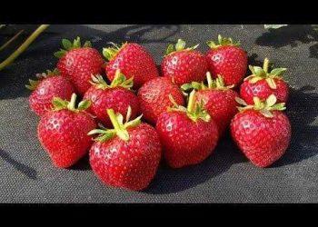ягода клубники Кабрилло