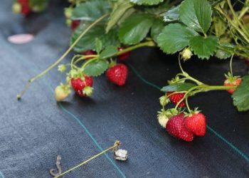 ягода клубники Альбион
