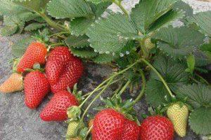 ягода клубники Мальга