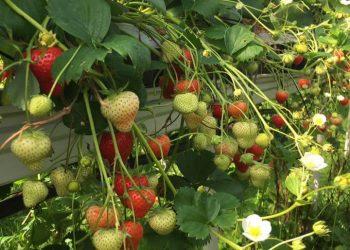 ягода клубники Альтесс/Altess